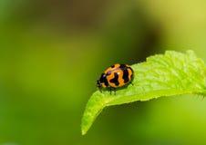 Insecto de la señora en la hoja verde Imagen de archivo