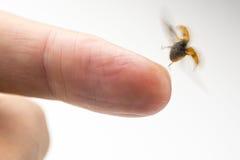 Insecto de la señora que vuela para arriba de un finger Imagen de archivo libre de regalías