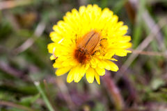 Insecto de mayo o abejorro o Melolontha en un diente de león Foto de archivo libre de regalías