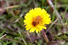 Insecto de mayo o abejorro o Melolontha en un diente de león Imagenes de archivo