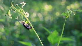 Insecto de mayo que sube hacia arriba para un buen punto inicial almacen de metraje de vídeo