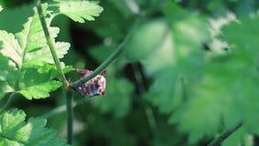 Insecto de mayo que sube un cepillo almacen de video