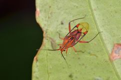 Insecto de Mirid hermoso fotografía de archivo libre de regalías