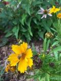 Insecto de oro Imagenes de archivo