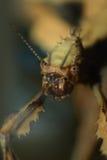Insecto de palillo Fotografía de archivo