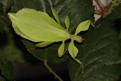 Insecto de palillo. Fotos de archivo libres de regalías