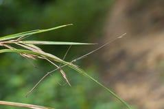 Insecto de palillo Imagen de archivo