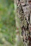 Insecto de palillo camuflado en tronco de árbol foto de archivo
