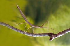 Insecto de palillo en la rama fotos de archivo