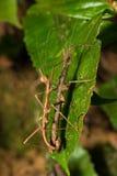 Insecto de palillo espinoso de Hong Kong que se acopla en la hoja Imagenes de archivo