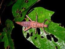 Insecto de palillo espinoso en selva de la selva tropical en la noche Imágenes de archivo libres de regalías