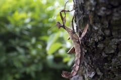 Insecto de palillo espinoso gigante en un árbol imagen de archivo