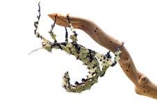Insecto de palillo espinoso gigante, tiaratum de Extatosoma, de Australia Un animal doméstico popular Aquí el color del liquen mo imagenes de archivo