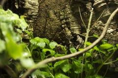 Insecto de palillo indio fotos de archivo