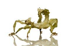 Insecto de palillo, Phasmatodea - tiaratum de Extatosoma Imagen de archivo libre de regalías