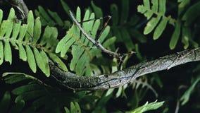 Insecto de palillo de salto que camina en una rama que encuentra hormigas en la selva tropical imagen de archivo libre de regalías