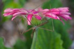 Insecto de palillo teselado australiano Imagen de archivo