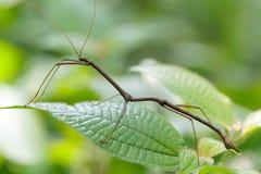 Insecto de palillo tropical Imágenes de archivo libres de regalías