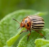 Insecto de patata Imagen de archivo