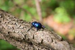 Insecto de Scarabeus Imagenes de archivo
