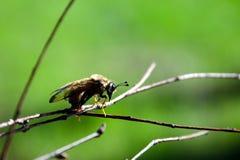 Insecto de vuelo en macro de la rama fotografía de archivo libre de regalías