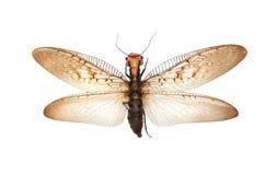 Insecto de vuelo gigante Imagen de archivo libre de regalías