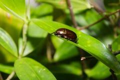 Insecto defensivo de Brown que intenta cubrirse imagenes de archivo