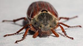 Insecto del abejorro Ascendente cercano del extremo Fotos de archivo
