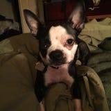 Insecto del amor del terrier de Boston Imagen de archivo libre de regalías