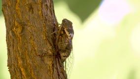 Insecto del Cicadidae Cigarra del canto Cicadidae en el tronco de árbol Flora de Europa Poco cicadidae Ascendente cercano de la m metrajes
