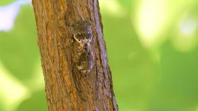 Insecto del Cicadidae Cigarra del canto Cicadidae en el tronco de árbol Flora de Europa Poco cicadidae Ascendente cercano de la m almacen de video
