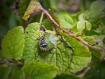 Insecto del escudo Fotografía de archivo