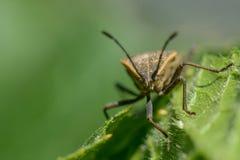 Insecto del escudo Imágenes de archivo libres de regalías