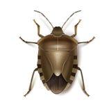 Insecto del escudo de Brown Fotografía de archivo