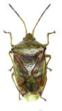 Insecto del escudo del abedul en el fondo blanco Imagenes de archivo