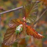 Insecto del escudo del espino Fotos de archivo libres de regalías