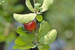 Insecto del escudo del lichi Fotos de archivo libres de regalías