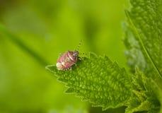 Insecto del escudo del parásito Imagen de archivo