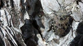 Insecto del escudo en corteza áspera metrajes