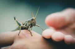 Insecto del grillo   Fotografía de archivo libre de regalías