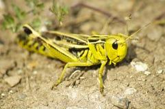 Insecto del grillo Foto de archivo