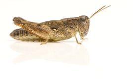 Insecto del grillo Imagen de archivo libre de regalías