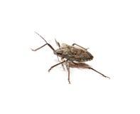 Insecto del hedor fotos de archivo