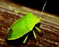 Insecto del hedor foto de archivo