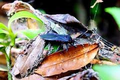 Insecto del hedor de Chinche foto de archivo libre de regalías