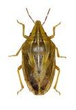 Insecto del hedor del trigo en el fondo blanco Foto de archivo libre de regalías