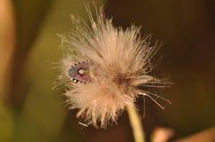 Insecto del hedor en cardo imágenes de archivo libres de regalías