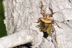 Insecto del hedor en corteza fotografía de archivo