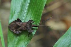 Insecto del hedor en la hoja Fotos de archivo