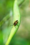 Insecto del Milkweed Foto de archivo libre de regalías